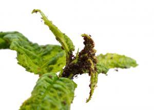 Silné napadení rostliny mšicemi