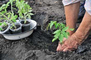 Přesazování sazenic rajčat