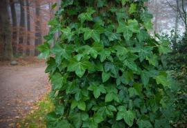 Břečťan rád obrůstá statné stromy ve stínu lesa či parku