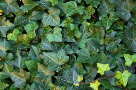 Pestrost listů břečťanu je patrná i u zelenolistých odrůd