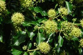 Květy břečťanu obalené včelami