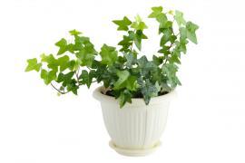 Břečťan lze pěstovat i jako pokojovou rostlinu