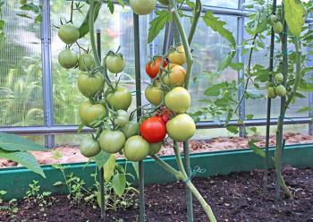Pěstování rajčat ve skleníku
