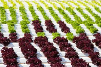 Salát zelenolistý a červenolistý