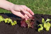 Výsadba vytříděných sazenic salátu