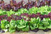 Při pěstování salátu si můžeme dopřát pestrost druhů a tedy i chutí