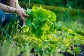 Nádherná hlávka salátu
