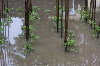 Pokud šlo o přívalový déšť, mohou tato rajčata přežít a my můžeme konzumovat jejich plody, pokud o povodeň, pak nikoli