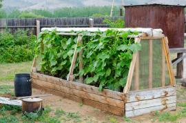 Okurky je nejlepší pěstovat samostatně, jsou to prostě primadony