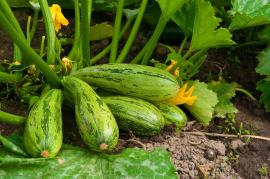 Cuketám nevadí kořenová zelenina