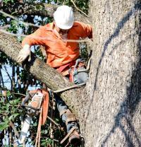 Vzrostlé stromy se kácí a prořezávají horolezeckou metodou