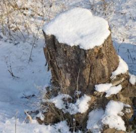Pařez po pokáceném stromu
