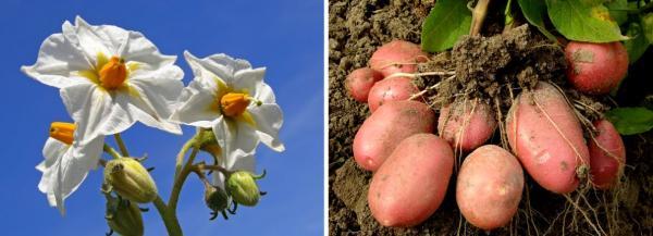 K nejznámějším hlíznatým rostlinám patří brambory, ovšem ještě dlouho poté, co se dostaly z Ameriky do Evropy, byly pro své krásné květy pěstovány jako rostliny okrasné.