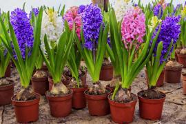 Hyacinty v květináčích, zajímavostí je, že cibule hyacintů musí vystupovat ze substrátu (cca 1/3 až 1/2)