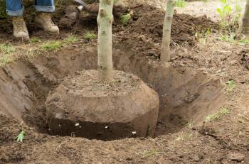 Vysazený vzrostlejší strom s kořenovým balem