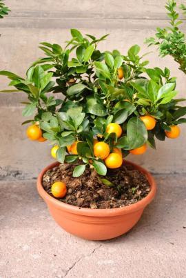 Keřík mandarinky