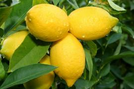 Zralé citrony