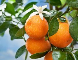 Kvetoucí a plodící pomerančovník