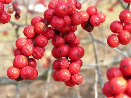 Plody opadavé cesmíny
