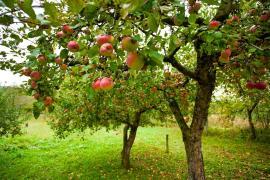 Nejpřirozeněji vytvoří třetí rozměr zahrady dřeviny, v tomto případě ovocné stromy