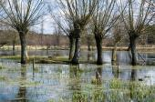 Vrbám se vyloženě daří v záplavových oblastech, kde se řeky pravidelně rozlévají