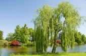Vrba na břehu rybníka