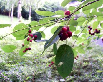 Zrající plody muchovníku Lamarckova