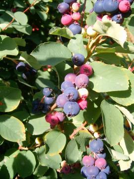 Plody muchovníku vejčitého
